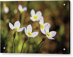 Bluet Flowers, Houstonia Caerulea Acrylic Print by Timothy Laman
