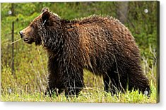 Bluetooth Grizzly 2 Acrylic Print