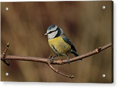 Bluey Acrylic Print by Peter Skelton