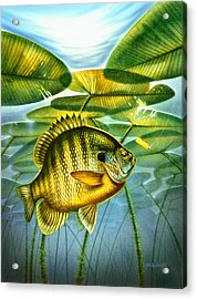 Blugill And Lilypads Acrylic Print by Jon Q Wright
