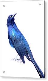 Bluish Bird Acrylic Print by DerekTXFactor Creative