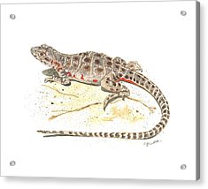 Blunt-nosed Leopard Lizard  Acrylic Print by Cindy Hitchcock