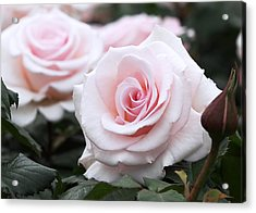 Blush Pink Roses Acrylic Print by Rona Black