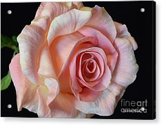 Acrylic Print featuring the photograph Blushing Pink Rose by Jeannie Rhode