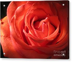 Blushing Orange Rose 1 Acrylic Print