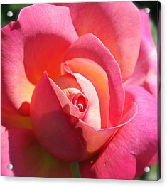 Blushing Rose Acrylic Print by Michele Myers