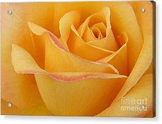 Blushing Yellow Rose Acrylic Print