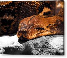 Boa Constrictor Acrylic Print by Jai Johnson