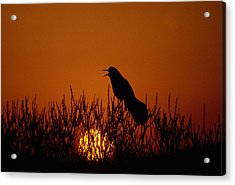 Boat-tailed Grackle Cassidix Mexicanus Acrylic Print by Panoramic Images