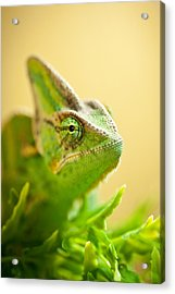 Bob The Chameleon  Acrylic Print by Samuel Whitton