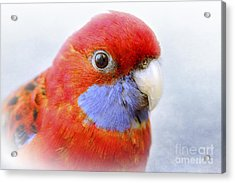 Bobby The Crimson Rosella Acrylic Print by Terri Waters