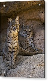 Acrylic Print featuring the photograph Bobcat 8 by Arterra Picture Library