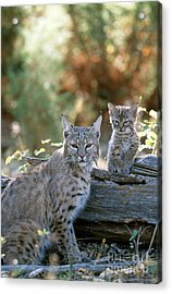 Bobcat Adult And Young Lynx Rufus Acrylic Print