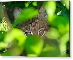 Bobcat Acrylic Print by Brian Magnier