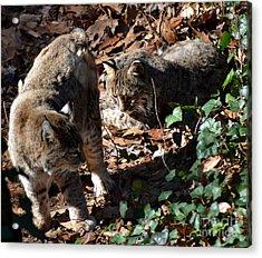 Bobcat Couple Acrylic Print by Eva Thomas
