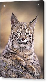 Bobcat Cub Portrait Montana Wildlife Acrylic Print