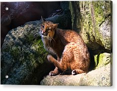 Bobcat Grooming Itself Acrylic Print by Chris Flees