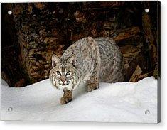 Bobcat In Snow (captive Acrylic Print
