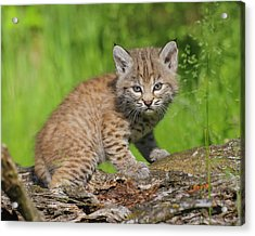 Bobcat Kitten  Felis Rufus  On Log Acrylic Print