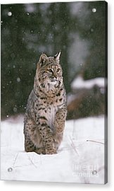 Bobcat Lynx Rufus In Winter Snow Acrylic Print