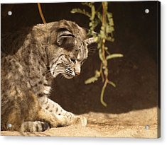 Bobcat Acrylic Print by James Peterson