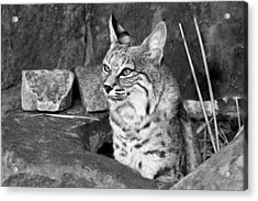 Bobcat Acrylic Print by Nikolyn McDonald