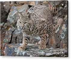 Bobcat On Rock Acrylic Print by Jerry Fornarotto