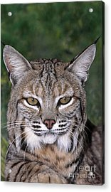 Bobcat Portrait Wildlife Rescue Acrylic Print by Dave Welling