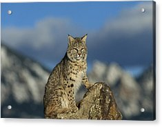 Bobcat  Rocky Mountains Acrylic Print by Konrad Wothe