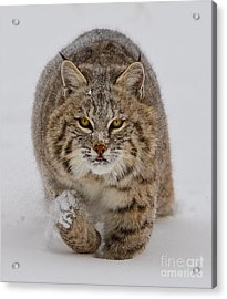 Bobcat Running Forward Acrylic Print by Jerry Fornarotto