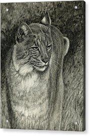Bobcat Emerging Acrylic Print by Sandra LaFaut