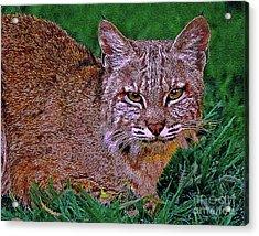 Bobcat Sedona Wilderness Acrylic Print by Bob and Nadine Johnston