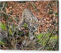 Acrylic Print featuring the photograph Bobcat by William Tanneberger