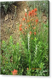 Bog Orchid Red Paintbrush On Mt A Acrylic Print by Dan A  Barker