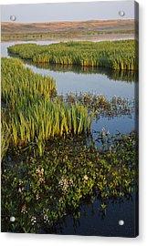 Bogbean And Yellow Iris Flowering Acrylic Print by Heike Odermatt