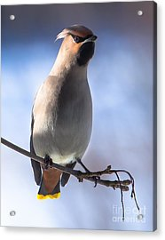 Acrylic Print featuring the photograph Bohemian Waxwing Blue by Rose-Maries Pictures