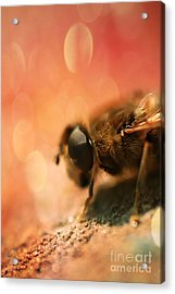 Bokeh Bee Acrylic Print by Lee-Anne Rafferty-Evans