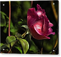 Bold Solitaire Rose Acrylic Print by Robert Culver