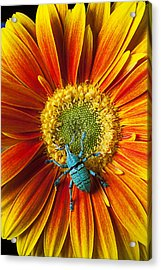 Boll Weevil On Mum Acrylic Print
