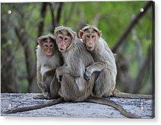 Bonnet Macaque Trio Huddling India Acrylic Print by Thomas Marent