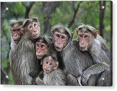 Bonnet Macaques Huddling Western Ghats Acrylic Print by Thomas Marent