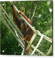 Bonnie The Orangutan Acrylic Print