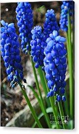 Bonny Blue Acrylic Print