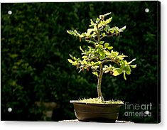 Bonsai Acrylic Print by Jane Rix
