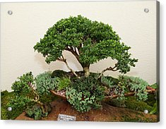 Bonsai Treet - Us Botanic Garden - 01131 Acrylic Print