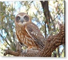 Boobook Owl Acrylic Print
