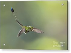 Booted Racket-tail Hummingbird Acrylic Print by Dan Suzio