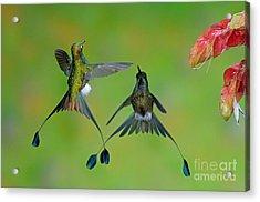 Booted Racket-tail Hummingbird Males Acrylic Print by Anthony Mercieca