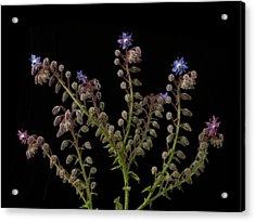 Borage Plants On Black Background Acrylic Print by William Turner