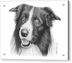 Border Collie -030 Acrylic Print